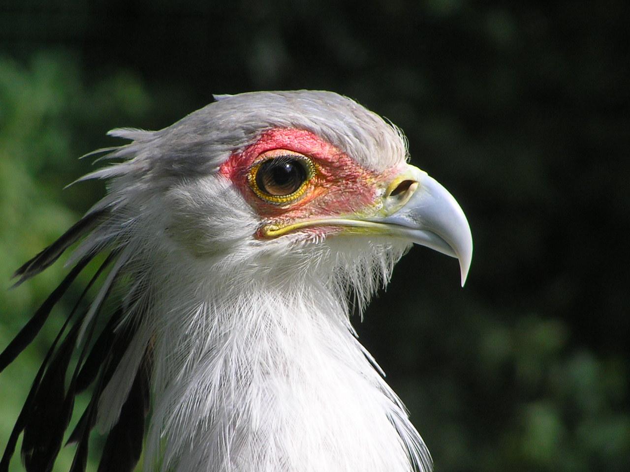 Птица-секретарь11