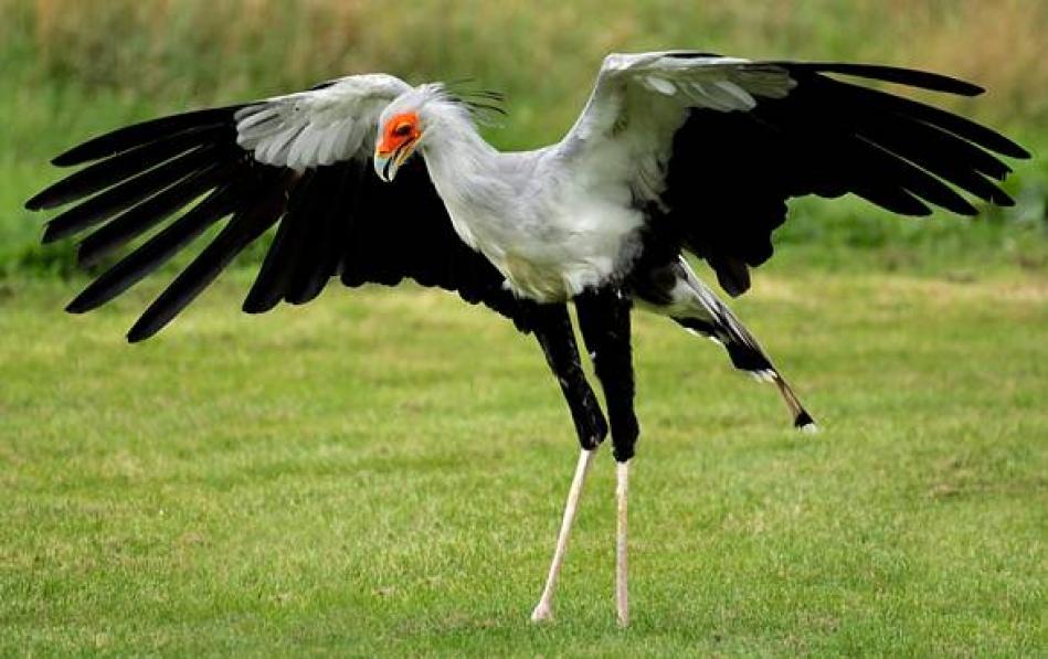 Птица-секретарь22