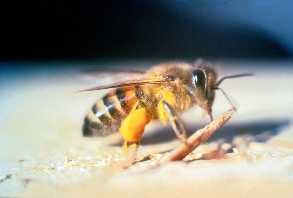 Пчела-убийца 1111111111