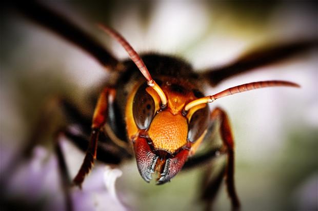 Пчела-убийца 222222222