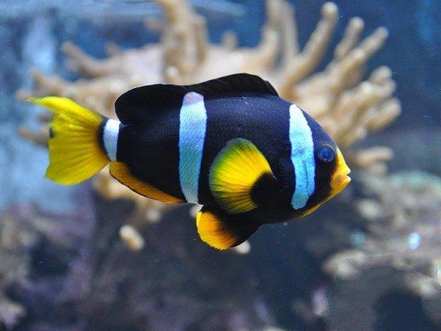 Рыба-клоун213