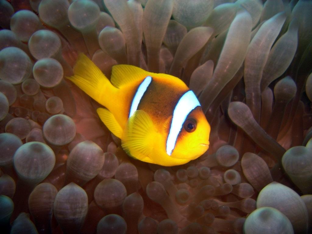 Рыба-клоун456