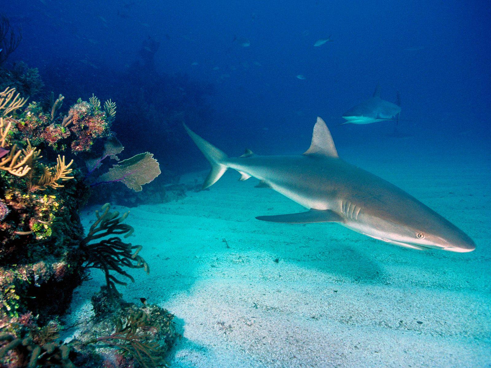 Серая рифовая акула325