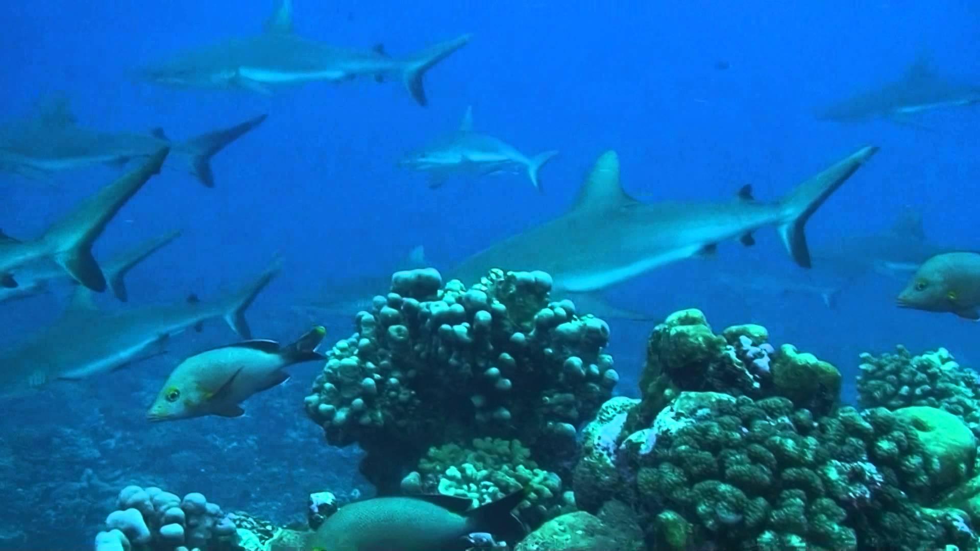 Серая рифовая акула436