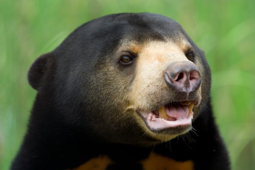 Солнечный медведь11