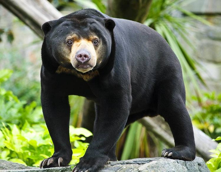солнечный медведь фото