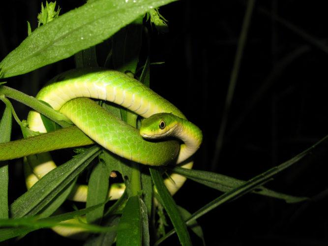 Травяная змея
