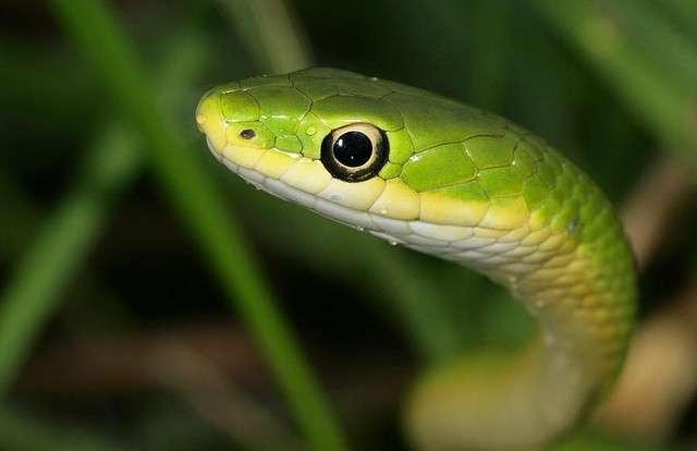 Травяная змея6576