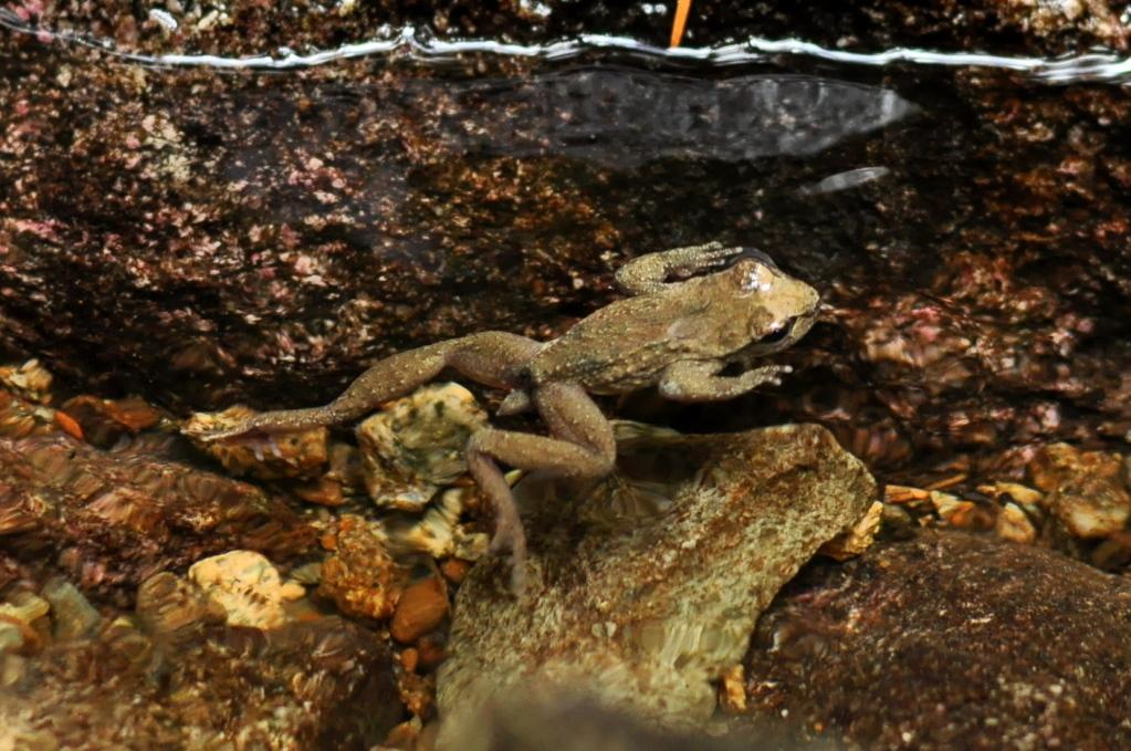 Хвостатая лягушка 22
