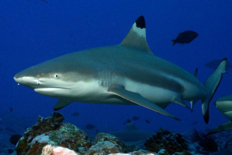 Черноперая акула