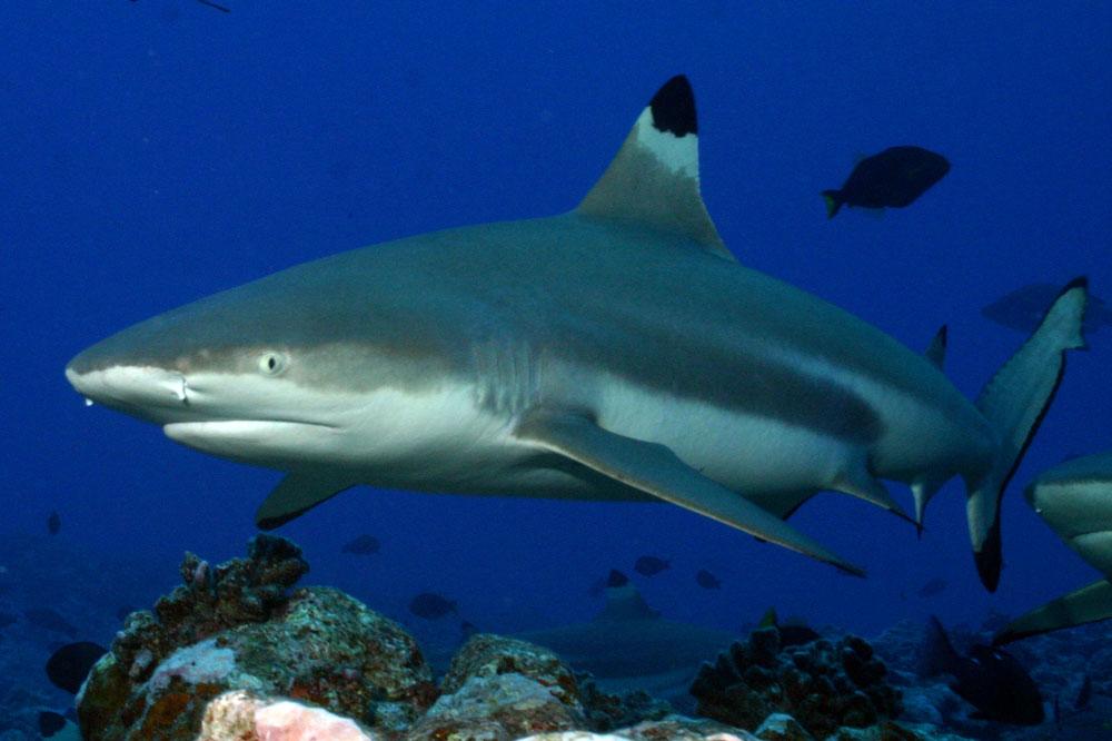 Черноперая акула11