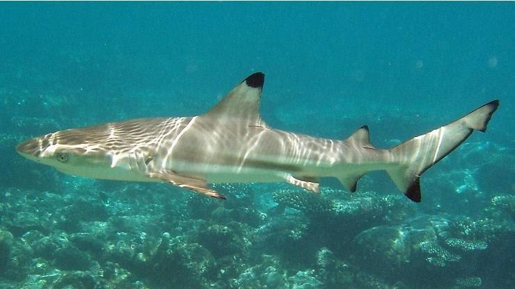 Черноперая акула22