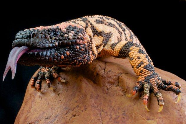 Ящерица-ядозуб22