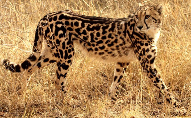 Неотразимые гепарды