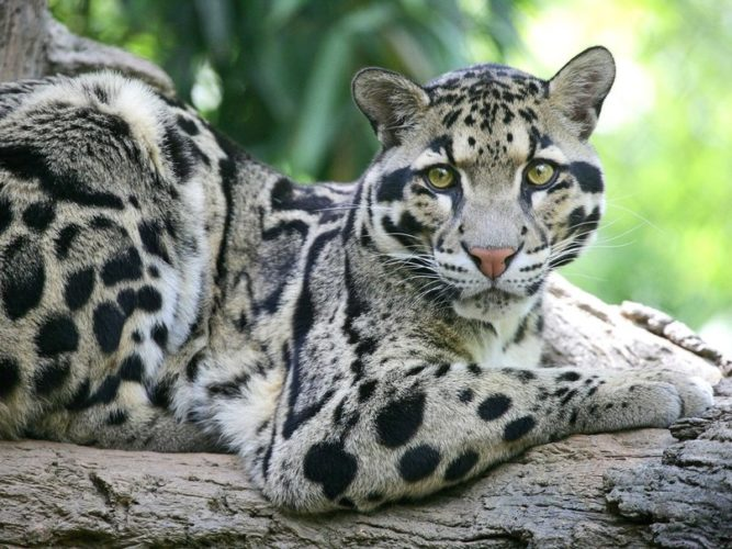 Облачный леопард