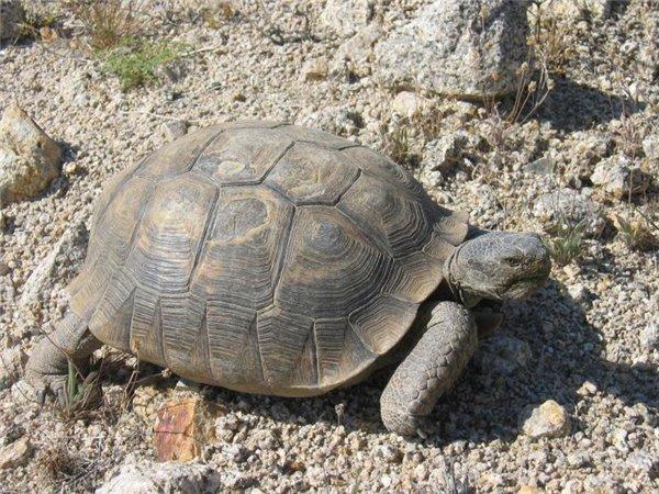 Пустынная черепаха