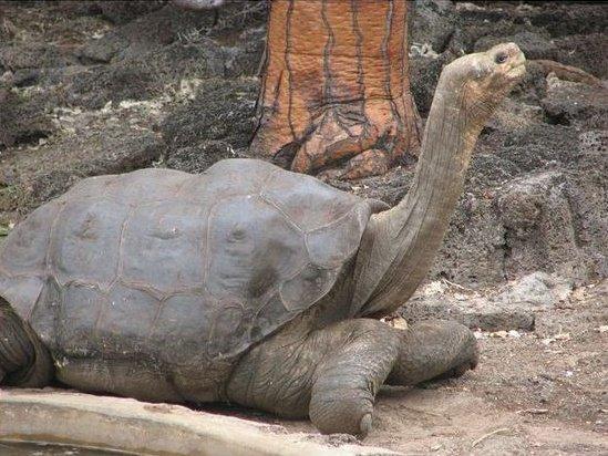 Одинокий Джордж - последня абингдонская черепаха