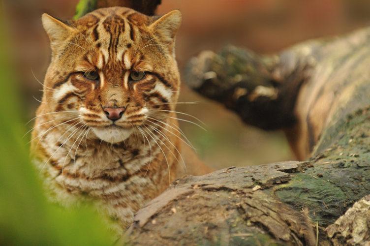 Азиатская золотая кошка