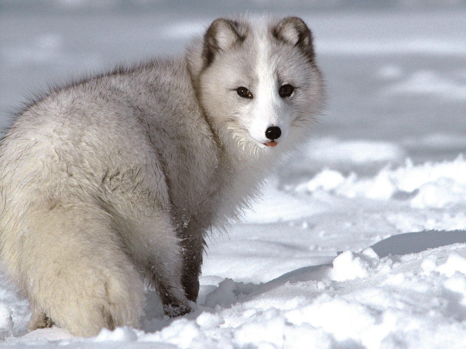 Арктическая лиса23