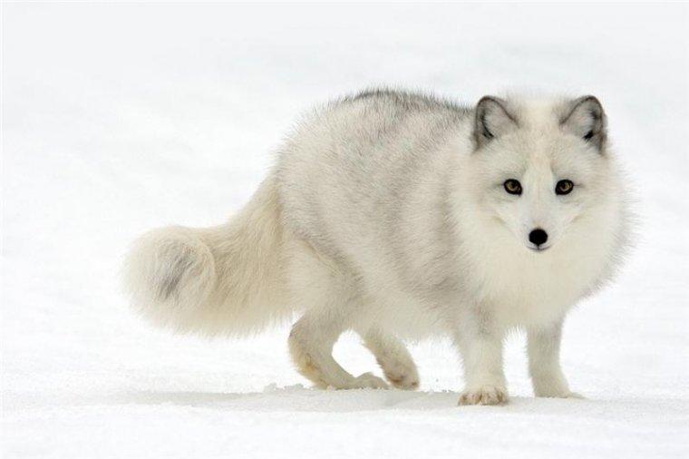 Арктическая лиса45