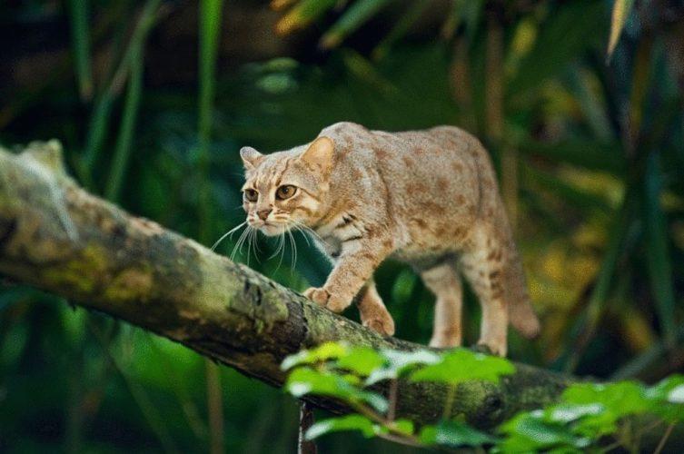 Африканский золотой кот
