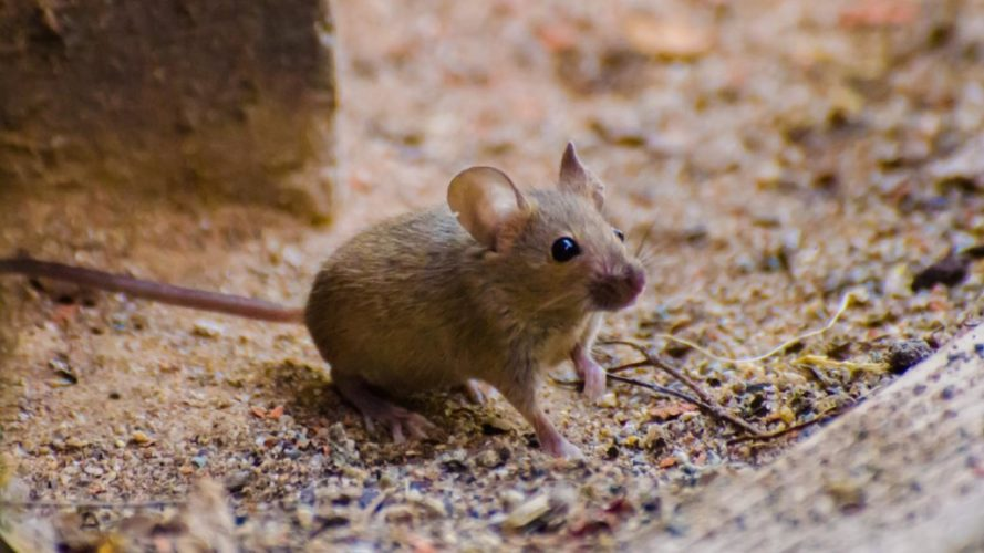 Белоногая мышь