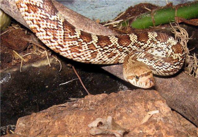 Гоферовая змея787