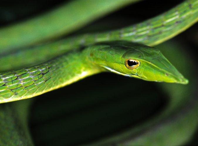 Зеленая виноградная змея