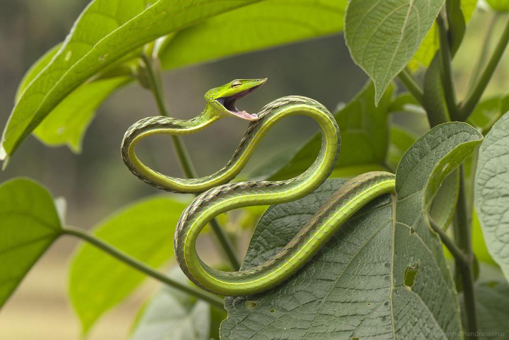 Зеленая виноградная змея33