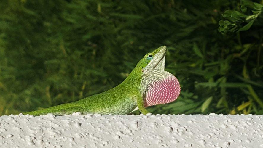 Зеленый анол