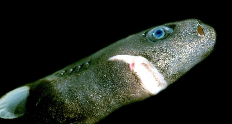Карликовая акула-фонарь