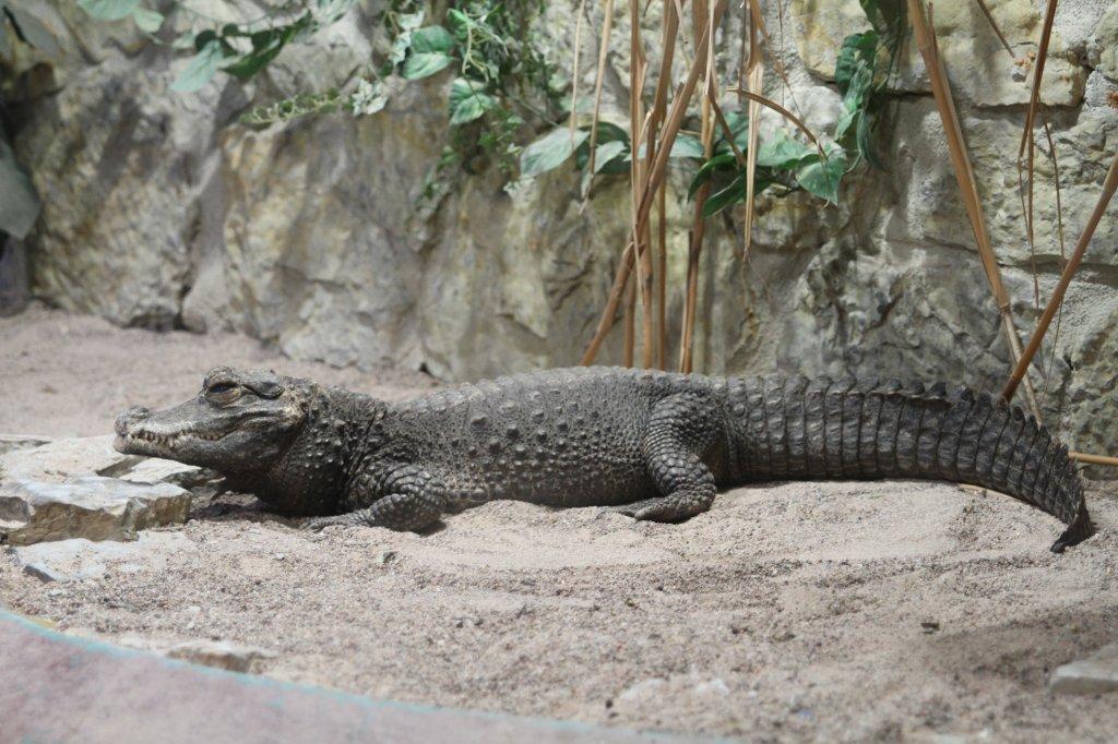 Карликовый крокодил11