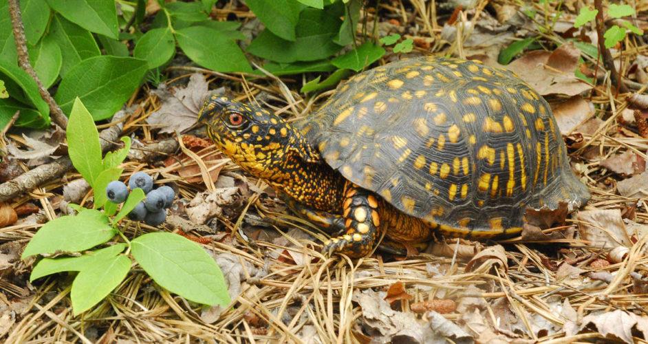 Коробчатая черепаха