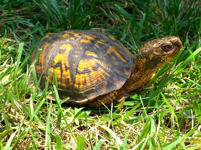 Коробчатая черепаха 245