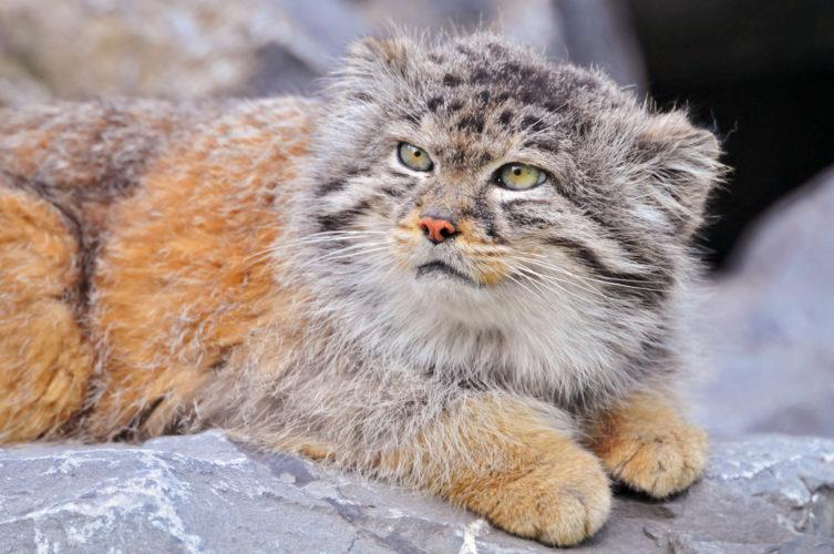 Кошка Палласа