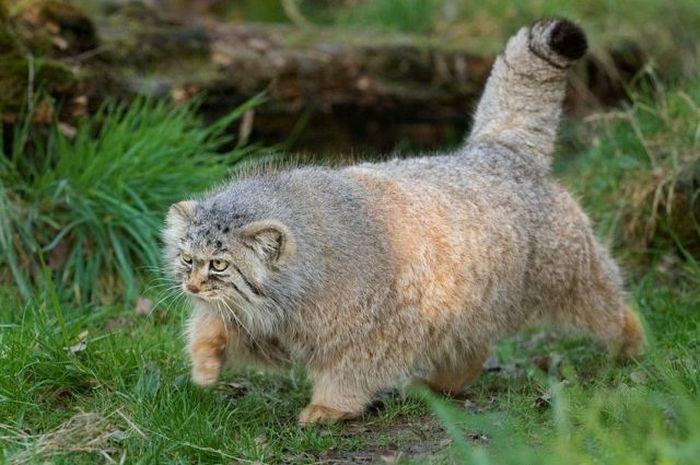 Кошка Палласа546