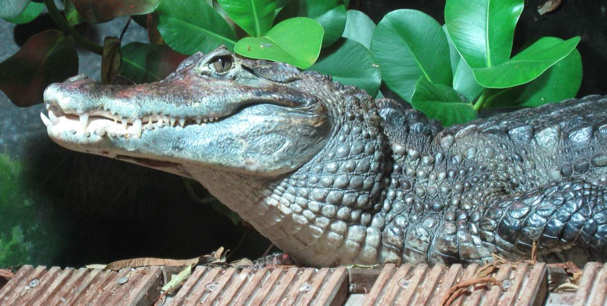Крокодиловый кайман1