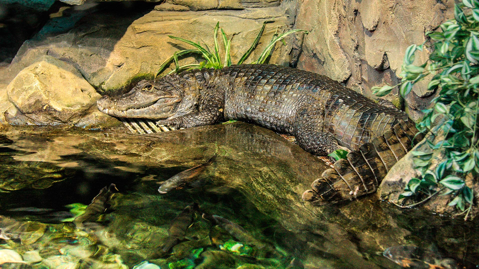 Крокодиловый кайман2
