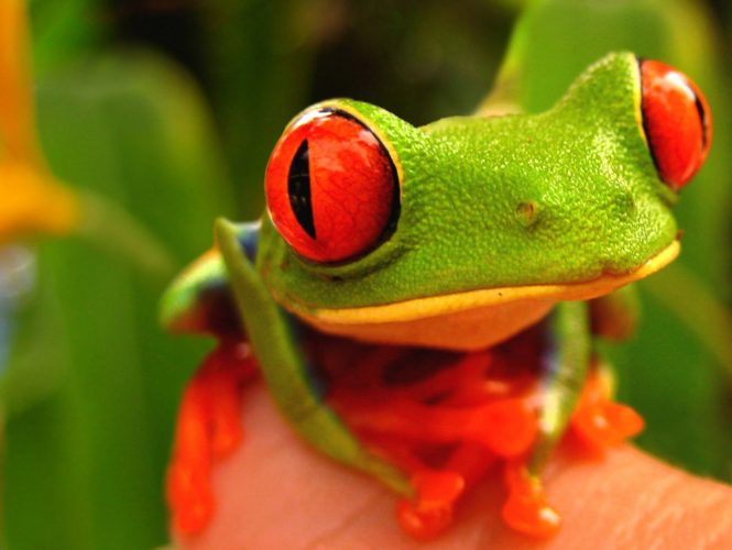 Кубинская лесная лягушка