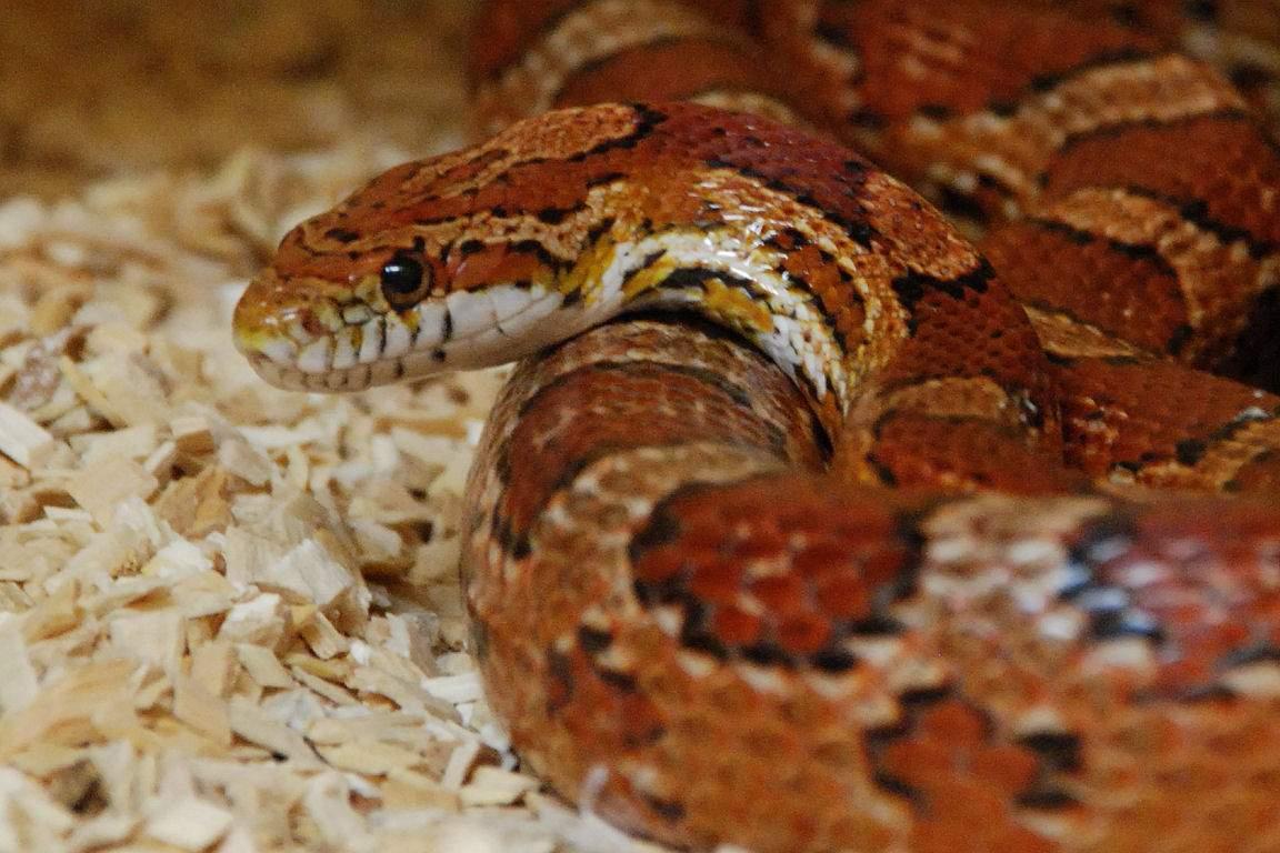 Кукурузная змея56