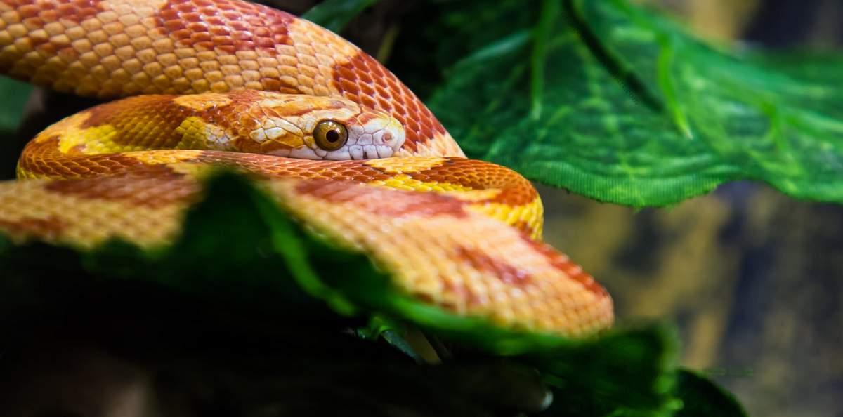Кукурузная змея7896