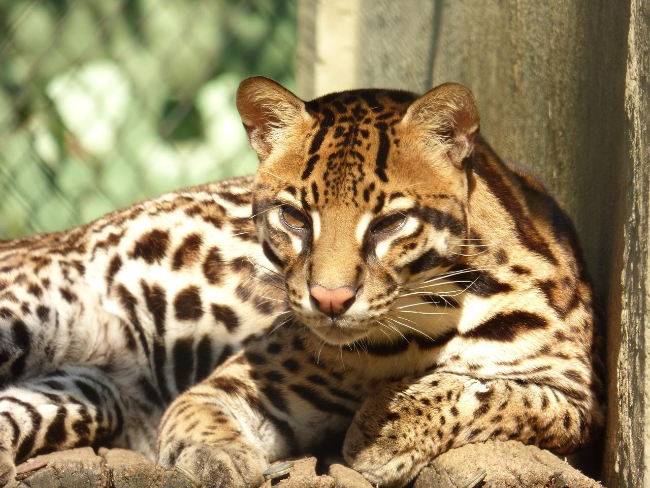 Леопардовая кошка111