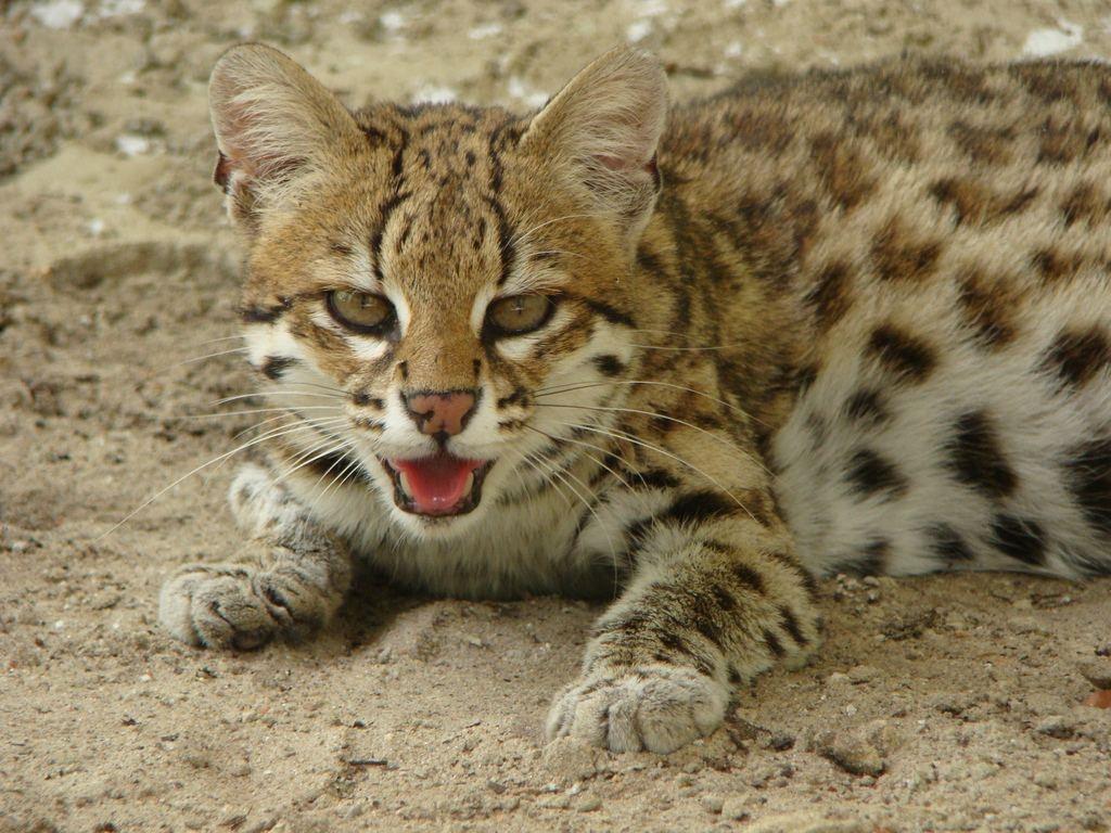 Леопардовая кошка2222222