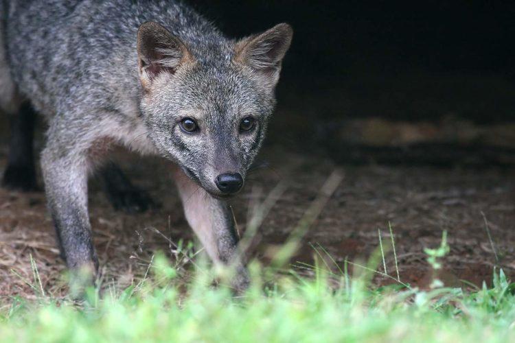 Майконг, или крабовая лисица