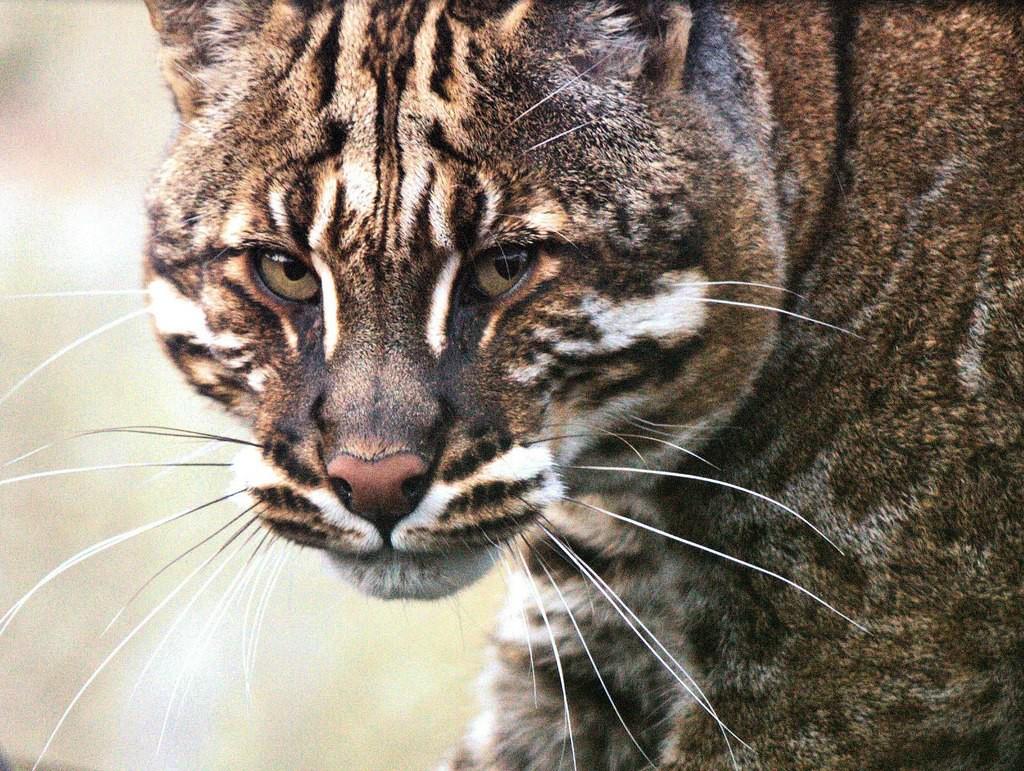 Мраморный кот2