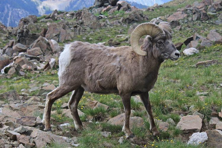 Овцы Марко Поло