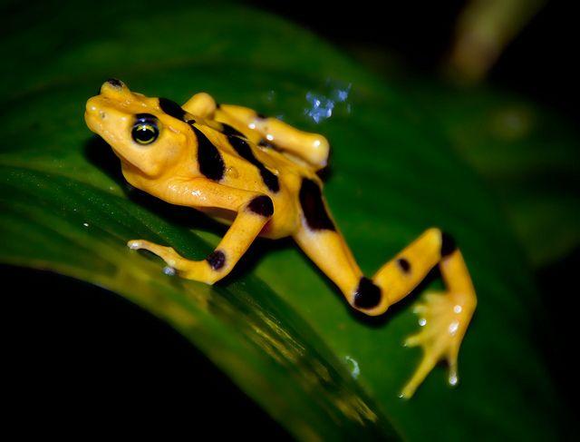 Панамская золотая лягушка11