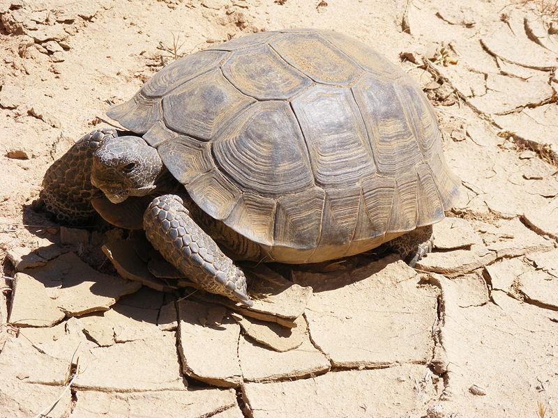Пустынная черепаха21324