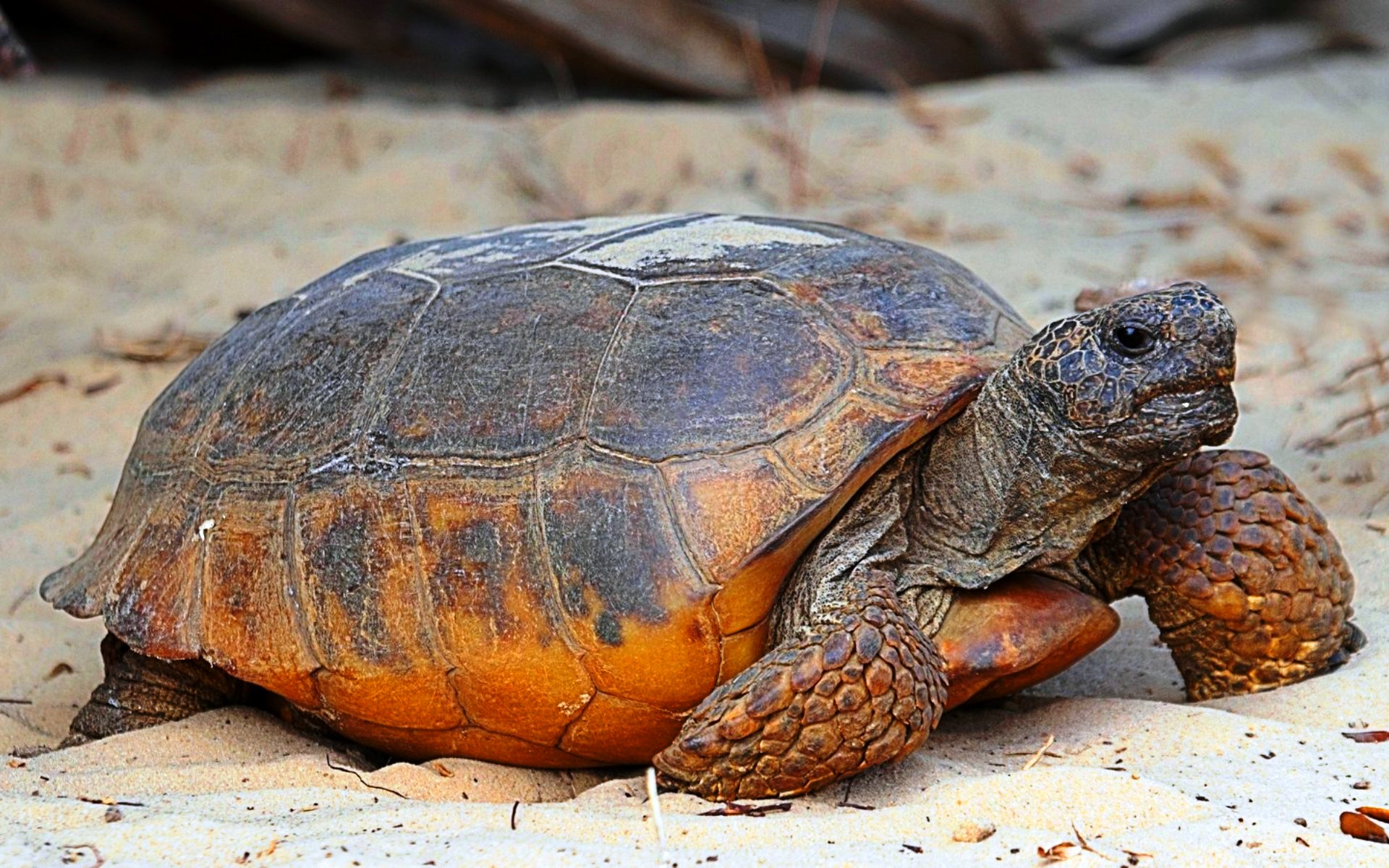 Пустынная черепаха7687