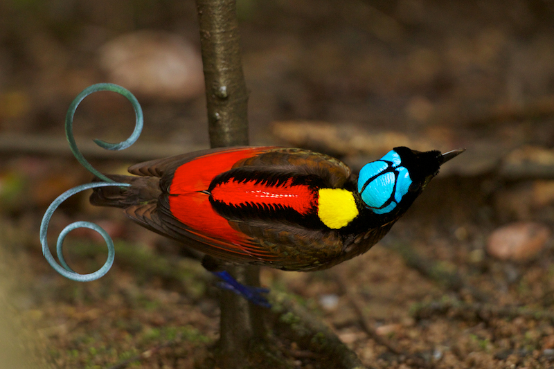 Райская птица Уилсона 11